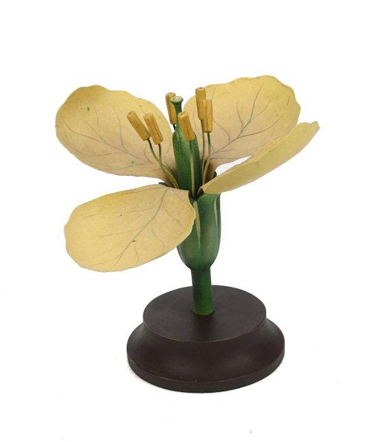 Botanische Bloem Boterbloem