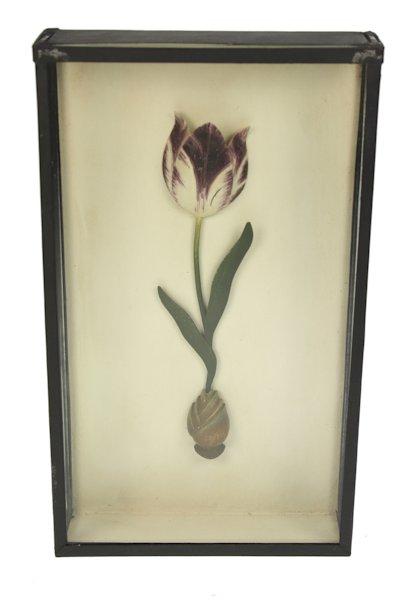 Tulp paars in kastje