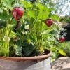 [:nl]keramieke aardbeien.[:]